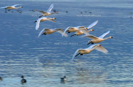 コハクチョウの飛行の写真素材 [FYI00111692]