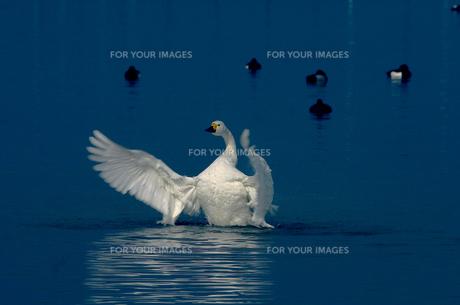 コハクチョウの羽ばたきの写真素材 [FYI00111711]
