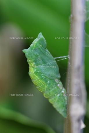 アゲハチョウの幼虫から脱皮直後のサナギの写真素材 [FYI00111736]