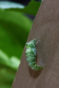 アゲハチョウのサナギの写真素材 [FYI00111738]