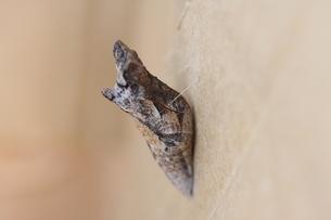 アゲハチョウのサナギの写真素材 [FYI00111746]