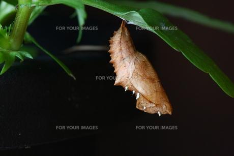 ツマグロヒョウモンのサナギの写真素材 [FYI00111757]