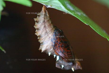 ツマグロヒョウモンのふ化直前のサナギの写真素材 [FYI00111765]