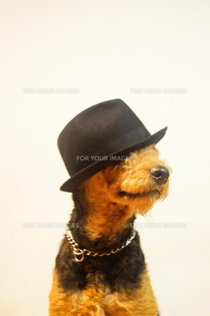 帽子を被った犬の素材 [FYI00111786]