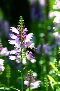 蜂と花の写真素材 [FYI00112177]