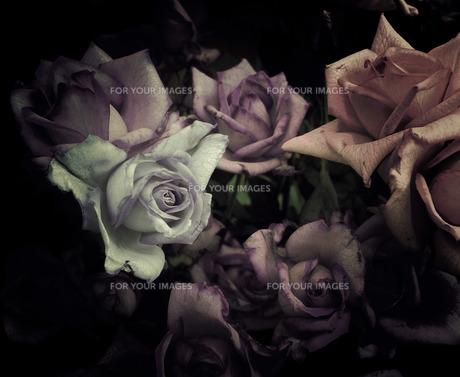 暗いゴシックなアンティーク薔薇の写真素材 [FYI00112207]