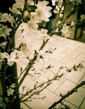 花屋さんの桜の写真素材 [FYI00112232]