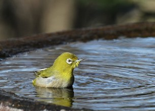 メジロ 水浴びの写真素材 [FYI00112483]