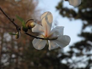 花一輪と蕾 コブシの写真素材 [FYI00112626]