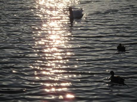水面に輝く ハクチョウ&カモの写真素材 [FYI00112637]