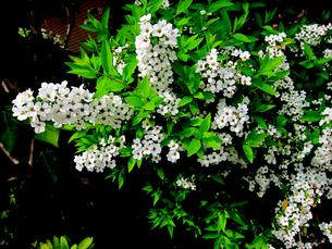 ユキヤナギの花の写真素材 [FYI00112895]