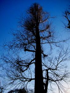 夕方近い時刻の冬木立の写真素材 [FYI00112903]