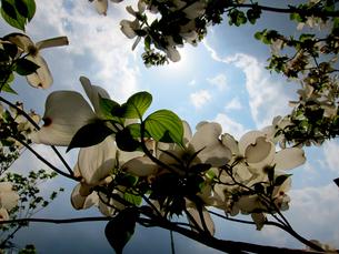 白い花水木の花の写真素材 [FYI00112906]
