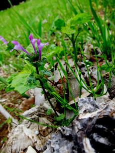ホトケノザの花の写真素材 [FYI00112915]