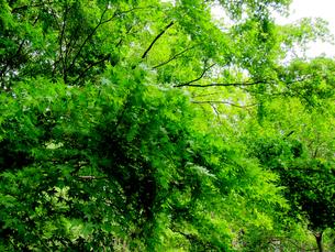 野川公園の新緑のもみじの写真素材 [FYI00112918]
