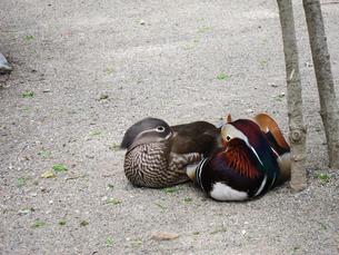 見つめ合う雄と雌のおしどり(井の頭動物園にて撮影、写真販売了解済み)の写真素材 [FYI00112921]