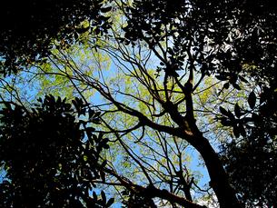 青空と新緑と木と葉の陰の写真素材 [FYI00112922]