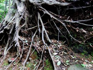 樹木の根の写真素材 [FYI00112923]