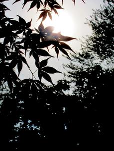 逆光に照らされるもみじの葉の写真素材 [FYI00112928]