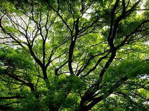 エノキの木の写真素材 [FYI00112930]