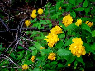山吹の花の写真素材 [FYI00112939]