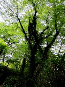 つる植物の絡まった大木の写真素材 [FYI00112940]