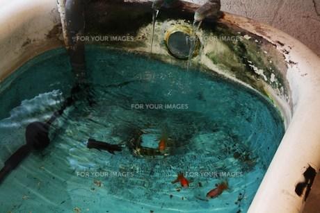 お風呂の水槽に金魚の写真素材 [FYI00112968]