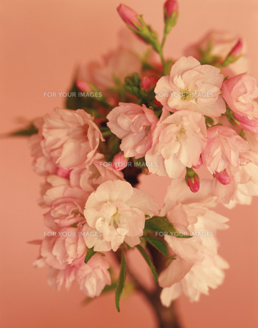 盆栽の桜の写真素材 [FYI00112973]
