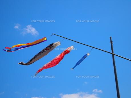 青空の鯉のぼりの写真素材 [FYI00113055]