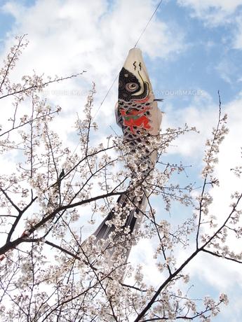 桜に泳ぐ鯉のぼりの写真素材 [FYI00113078]
