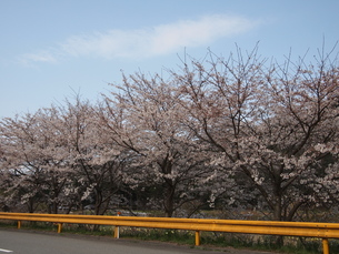 桜の写真素材 [FYI00113081]