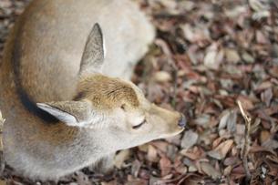 鹿と落ち葉の写真素材 [FYI00113746]