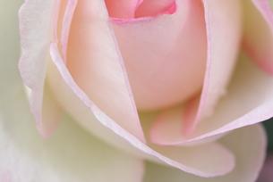 ピンクの薔薇の写真素材 [FYI00113753]