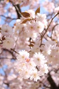 桜の写真素材 [FYI00113755]