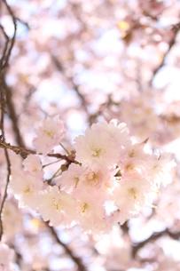 桜の写真素材 [FYI00113763]