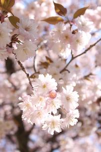 桜の写真素材 [FYI00113764]