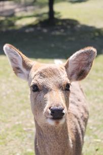 鹿の写真素材 [FYI00113770]