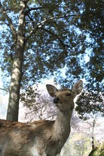 鹿と桜の写真素材 [FYI00113774]