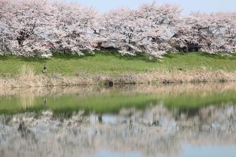 一目千本桜の写真素材 [FYI00113811]