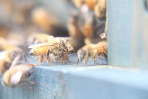 ミツバチの写真素材 [FYI00113902]