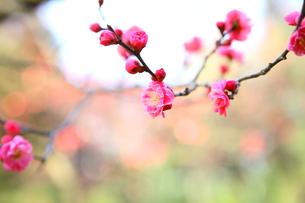 梅の写真素材 [FYI00113927]