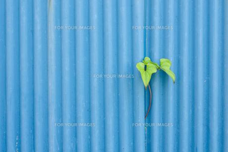 トタン板の隙間から覗く葉の素材 [FYI00114048]