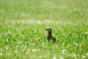 河川敷の芝生を歩く鳥の写真素材 [FYI00114058]