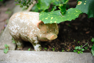 葉っぱの下に隠れるブタの置物の写真素材 [FYI00114066]