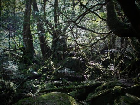 太古の森の写真素材 [FYI00114069]