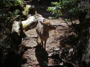 鹿に会える森の写真素材 [FYI00114077]