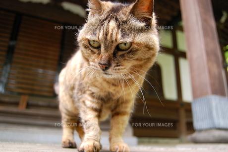 猫の写真素材 [FYI00114101]