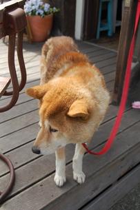 犬の写真素材 [FYI00114106]