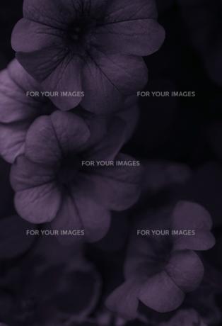 紫の花の素材 [FYI00114321]