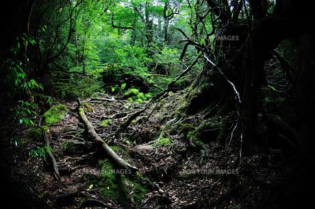 静寂の森の写真素材 [FYI00114322]